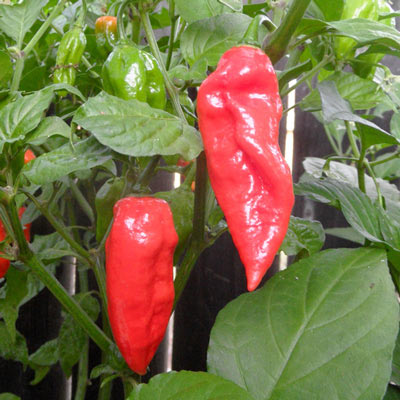 Ghost Pepper | Bhut Jolokia