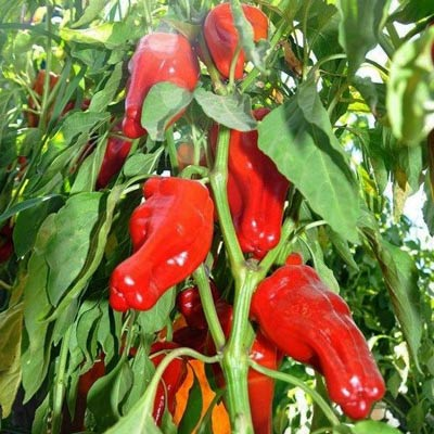 Marash | Maras Pepper