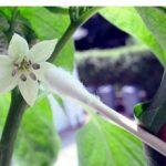 Chili Pepper Bloom