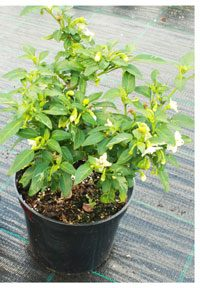 Transplant your chili pepper outdoors