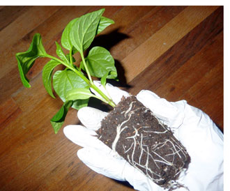 Transplanting of chili peppers